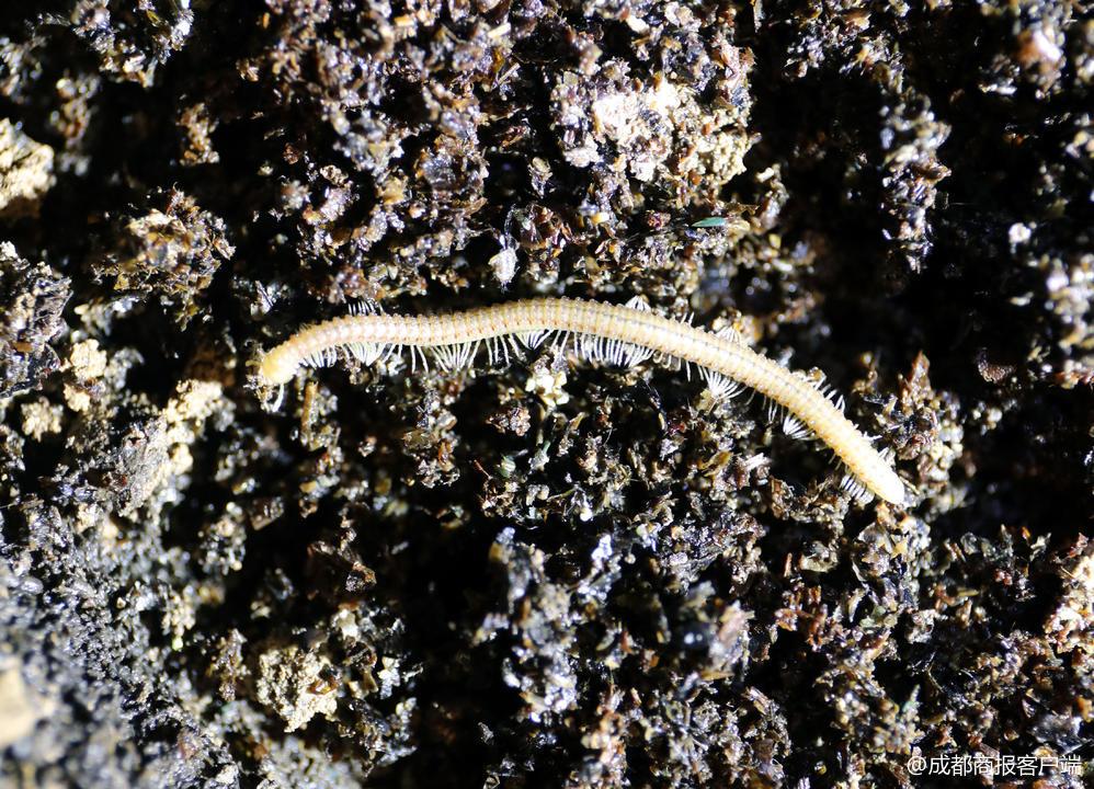 """慎点!仁寿五龙山地下洞穴内惊现""""地狱蜈蚣"""",初步判断为新物种!(附视频)"""