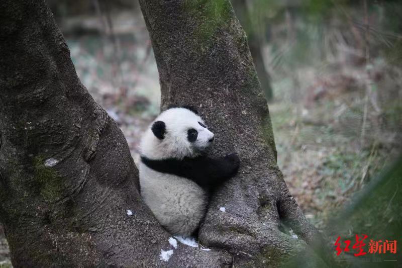 目前,两只可爱的大熊猫已顺利完成两个阶段的野化训练,预计将于