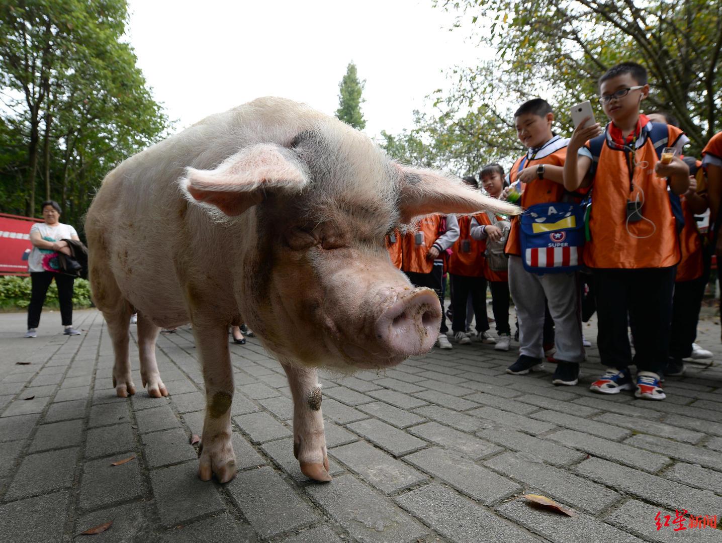"<b>网传汶川地震""猪坚强""已走不动 饲养员:能走,只是走得慢</b>"