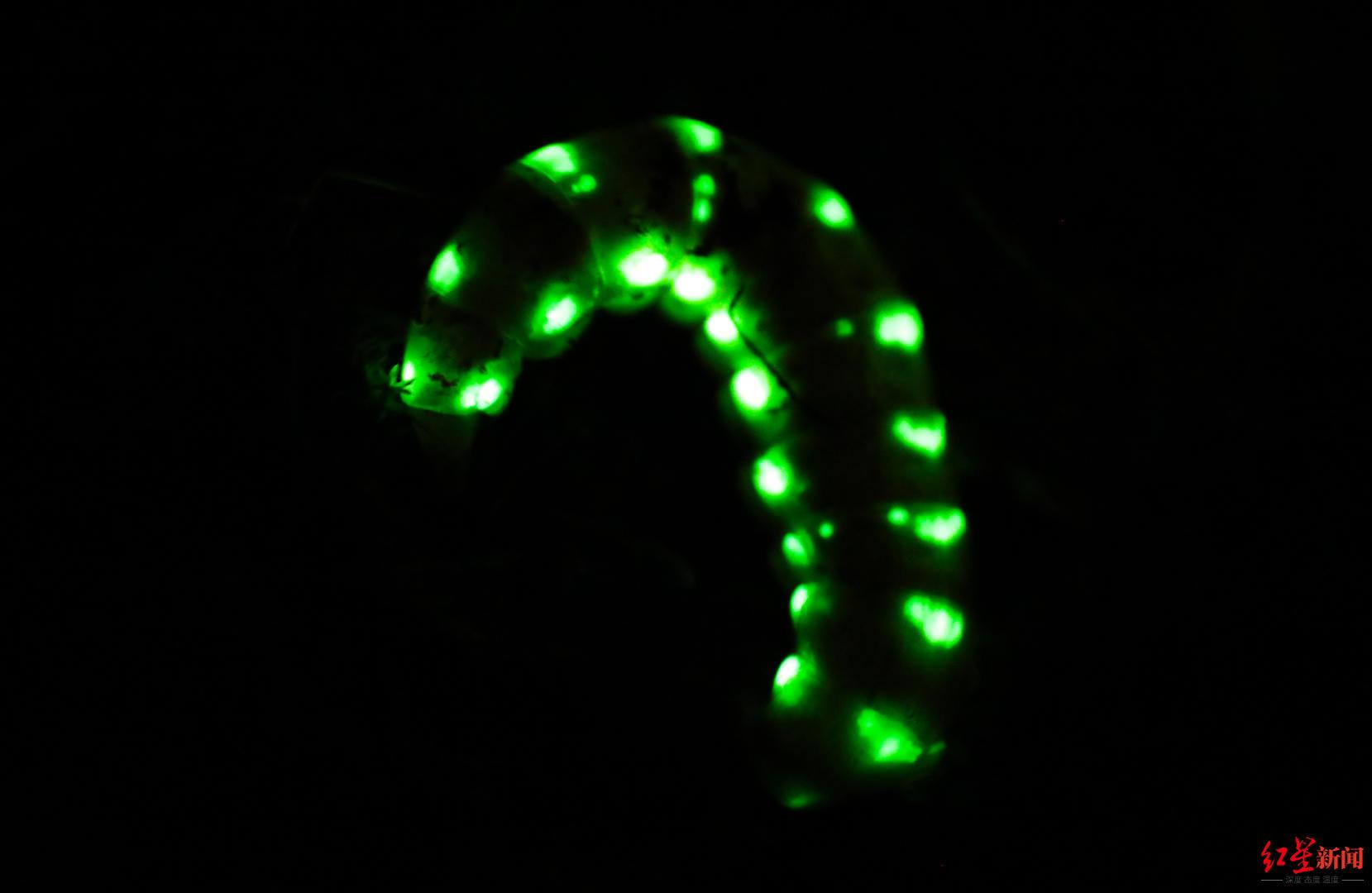 """5厘米巨型萤火虫现身四川:白天躲地下 晚上挂着30多个""""小灯""""出来蹓"""