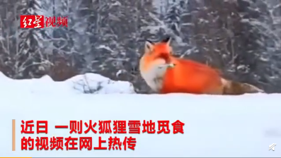 火狐狸虚假视频当事人道歉 大兴安岭阿木尔林业局:已批评