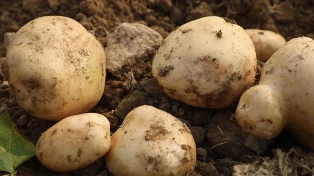 马铃薯.jpg